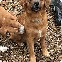 Adopt A Pet :: Shepard - URGENT!!! - Clarksville, TN