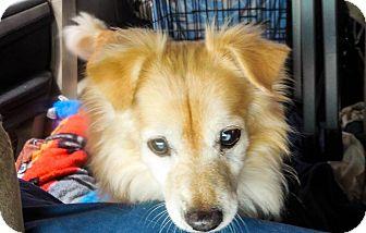 Pomeranian/Golden Retriever Mix Dog for adoption in Gilbert, Arizona - Cody