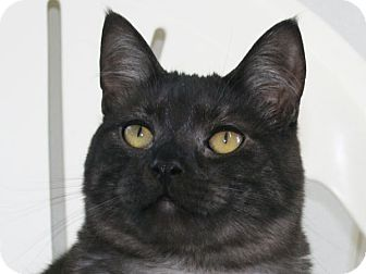 Domestic Shorthair Cat for adoption in Republic, Washington - Bugsy