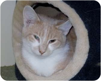 Domestic Shorthair Kitten for adoption in Scottsburg, Indiana - Prince Charming