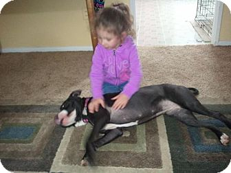 American Staffordshire Terrier Mix Dog for adoption in Laingsburg, Michigan - Gayla