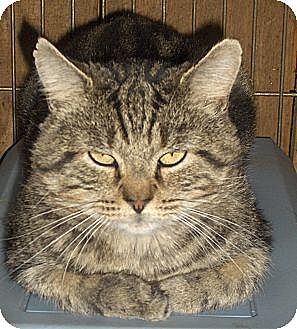 Domestic Shorthair Cat for adoption in Middletown, Connecticut - Nathan