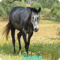 Adopt A Pet :: Goose - Elverta, CA