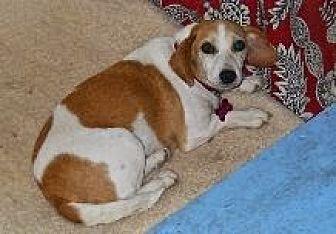 Beagle Mix Dog for adoption in Rayville, Louisiana - Beouffy