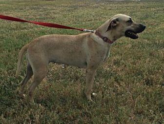 Labrador Retriever Mix Dog for adoption in Cat Spring, Texas - Taffy
