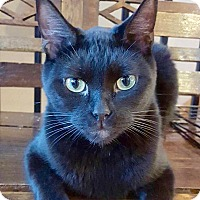 Domestic Shorthair Cat for adoption in McDonough, Georgia - Isaiah