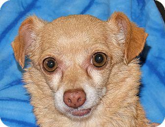 Chihuahua Mix Dog for adoption in Spokane, Washington - Aurora