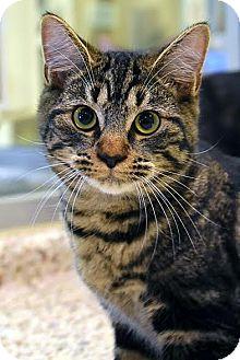 Domestic Shorthair Cat for adoption in Aiken, South Carolina - Renn