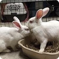 Adopt A Pet :: Ariel - Woburn, MA