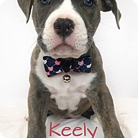 American Staffordshire Terrier/American Pit Bull Terrier Mix Puppy for adoption in Toledo, Ohio - Keely