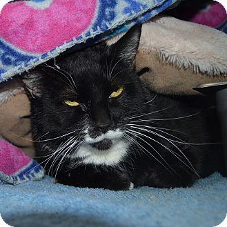 Domestic Shorthair Cat for adoption in Wheaton, Illinois - Salmon