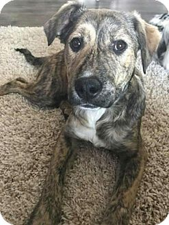 Boxer/Shepherd (Unknown Type) Mix Puppy for adoption in Wyoming, Michigan - Lacey