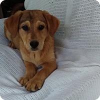 Adopt A Pet :: Katie Bug-pending adoption - Manchester, CT