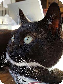 Domestic Shorthair Cat for adoption in Salisbury, Massachusetts - Vin Diesel