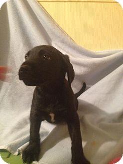 Labrador Retriever/Hound (Unknown Type) Mix Puppy for adoption in Leesburg, Virginia - Frank