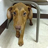 Adopt A Pet :: Cooper - Silsbee, TX