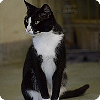 Domestic Shorthair Cat for adoption in Brooksville, Florida - Whiskey