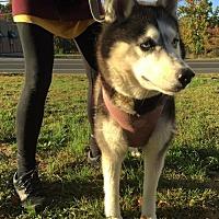 Siberian Husky Dog for adoption in Matawan, New Jersey - Snowy
