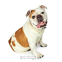 English Bulldog/English Bulldog Mix Dog for adoption in Tempe, Arizona - Betsy