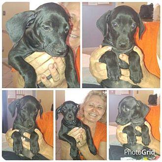 Whippet Mix Dog for adoption in Phoenix, Arizona - Audi