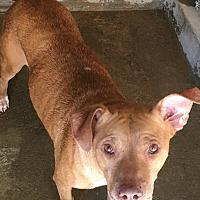 Adopt A Pet :: Anna - El Centro, CA