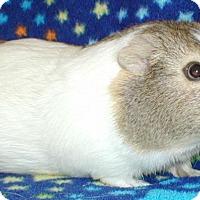 Adopt A Pet :: Annie - Steger, IL