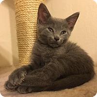 Adopt A Pet :: Amelia - Brooklyn, NY