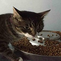 Domestic Mediumhair Cat for adoption in Canfield, Ohio - BARB