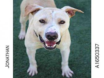 Labrador Retriever/American Staffordshire Terrier Mix Dog for adoption in Los Angeles, California - JONATHAN