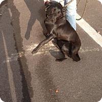 Adopt A Pet :: Onyx - Cashiers, NC