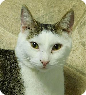 Domestic Shorthair Cat for adoption in Winston-Salem, North Carolina - Dorian