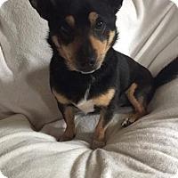 Adopt A Pet :: Gambino - Baltimore, MD
