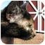 Photo 2 - Manx Cat for adoption in Maxwelton, West Virginia - Sweetie