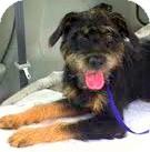 Airedale Terrier/Schnauzer (Standard) Mix Dog for adoption in Boulder, Colorado - Nick