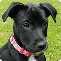 Adopt A Pet :: Chyna - Haverhill, MA