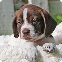 Adopt A Pet :: Splash - Austin, TX