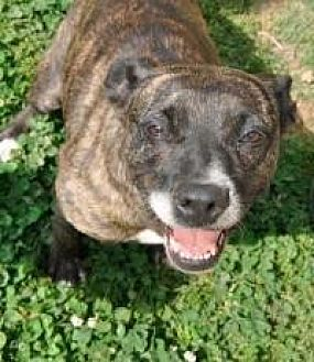 Pit Bull Terrier Dog for adoption in Memphis, Tennessee - Cutie Pie