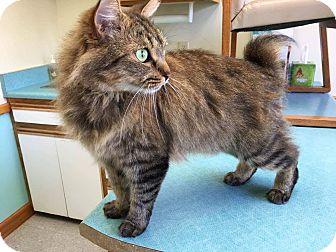 Manx Cat for adoption in Simpsonville, South Carolina - Matthew