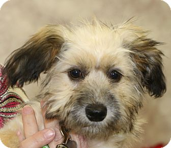 Terrier (Unknown Type, Small)/Havanese Mix Puppy for adoption in Bedminster, New Jersey - Phelps - MEET ME