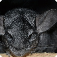 Chinchilla for adoption in Patchogue, New York - Fawn