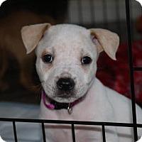 Adopt A Pet :: Lorelai - Charlotte, NC