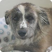 Adopt A Pet :: Topper - Canoga Park, CA
