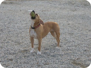 Staffordshire Bull Terrier/American Pit Bull Terrier Mix Dog for adoption in Valley Village, California - DINAH