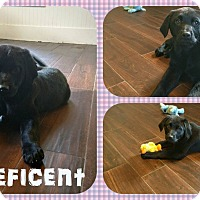 Adopt A Pet :: Maleficent - DOVER, OH