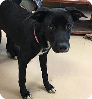 Labrador Retriever Mix Puppy for adoption in Walden, New York - Ivy
