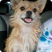 Adopt A Pet :: Chewbacca - Nanuet, NY