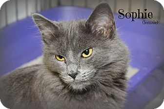 Domestic Longhair Kitten for adoption in Glen Mills, Pennsylvania - Sophie