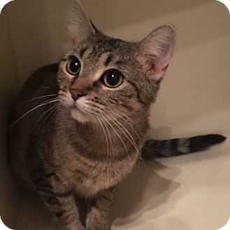 Domestic Shorthair Cat for adoption in Green Bay, Wisconsin - Farmer's Daughter