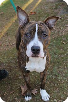 American Pit Bull Terrier Mix Puppy for adoption in New Milford, Connecticut - Casey