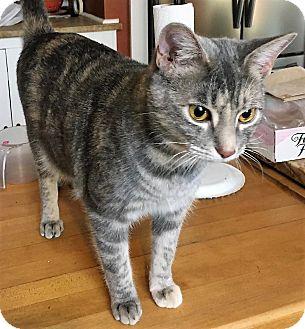 Domestic Shorthair Cat for adoption in Aylett, Virginia - Alissa